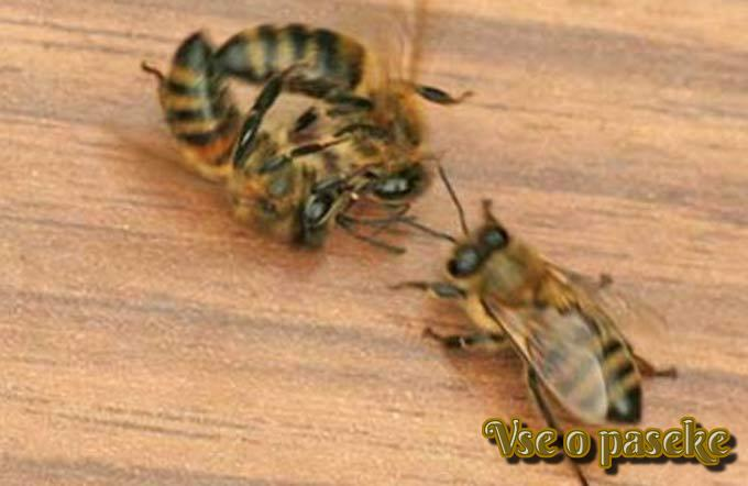 пчела-воровка