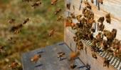 Как работают пчелы на опылении растений