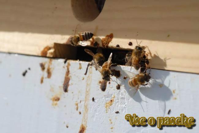 больная пчелиная семья