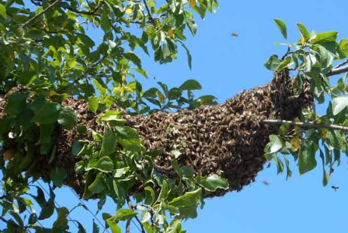 пчелы на дереве