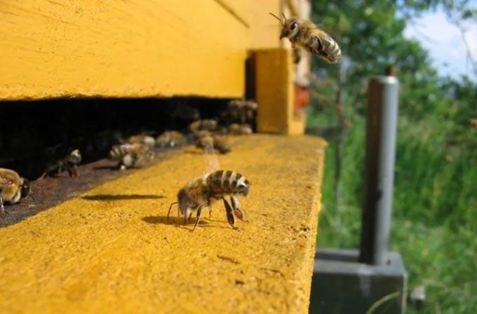 пчелы на летке