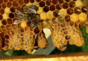 Содержание пакетных пчел