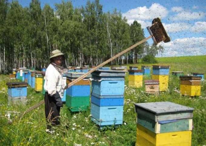 активная ловля пчел