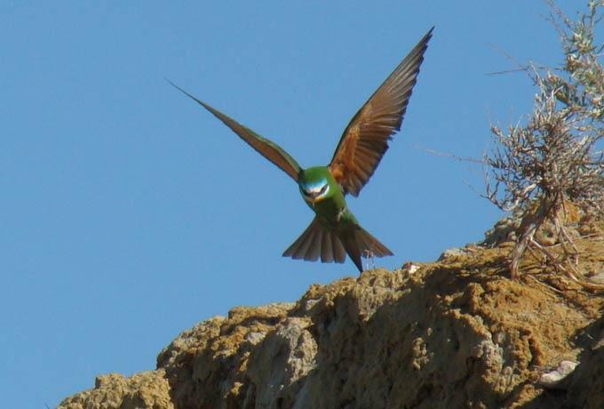 щурка зеленая