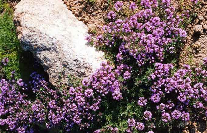 цветущий чабрец