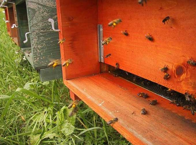 пчелы перед летком