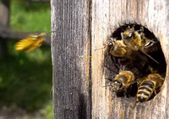 пчелы-3