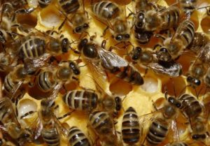 Медовая сыта для подкормки пчел весной, осенью, зимой