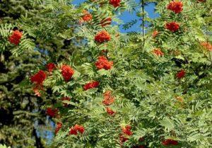 Синяк обыкновенный как медоносное растение
