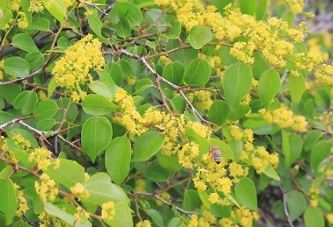 Держи-дерево обыкновенное - полезные свойства, описание