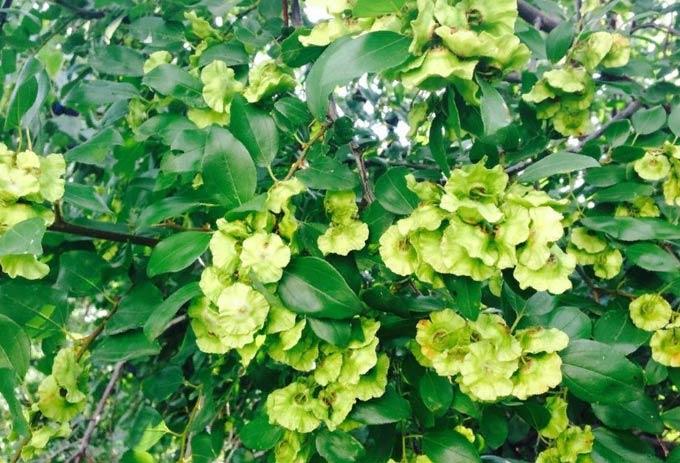 Медонос держи дерево – медопродуктивность, полезные свойства