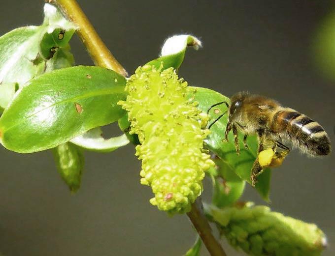 пчела на иве