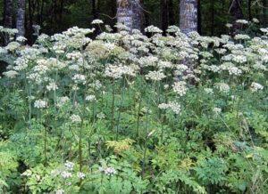 Польза дербенника (плакун-травы) в качестве медоносного растения