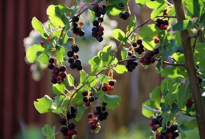 ирговые плоды