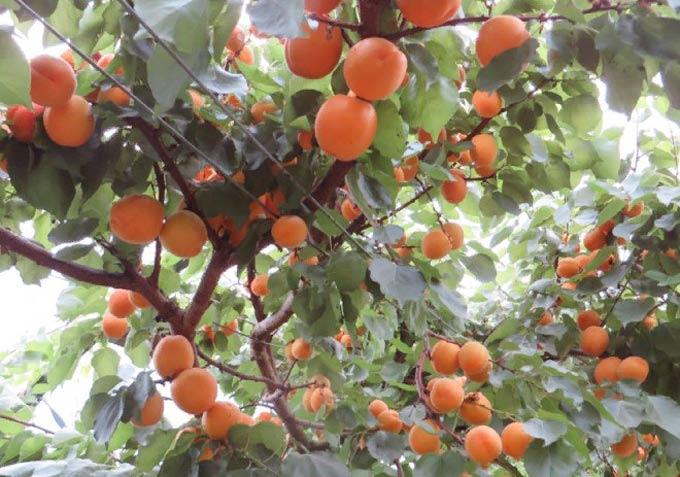 изображение записи-абрикос