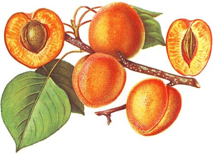 плод-костянка