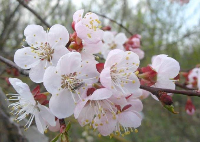 цветки абрикоса