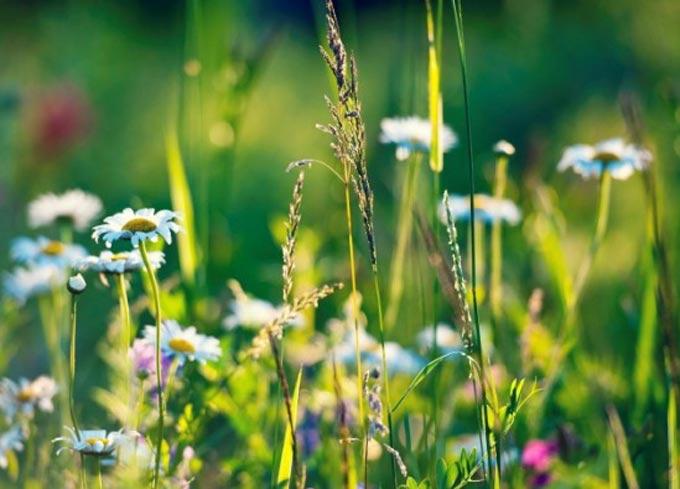 Обзор медоносных трав по группам с фото