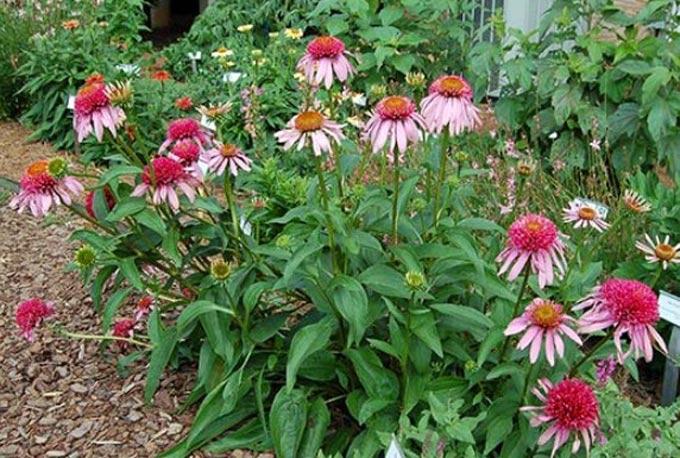 Эхинацея как медоносное растение