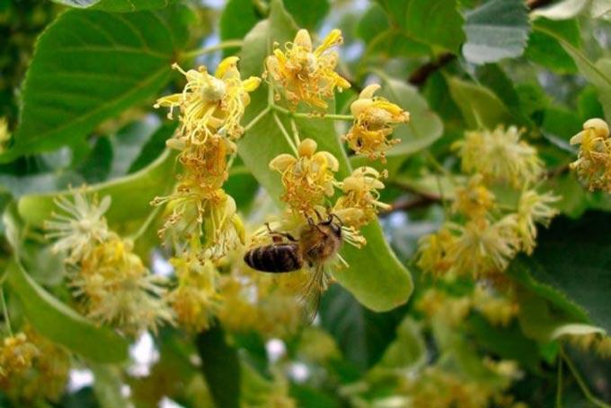 Медоносные растения и их классификация