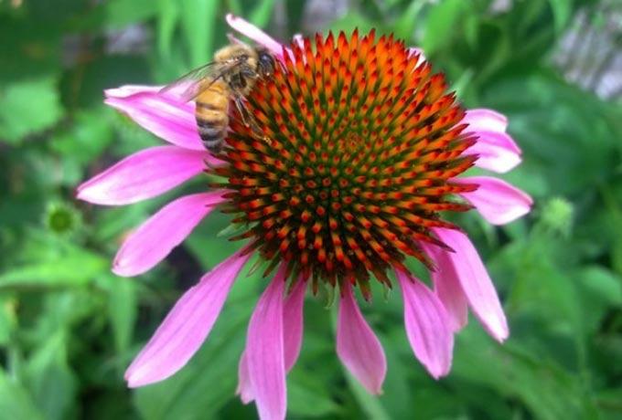 пчела на эхинацее