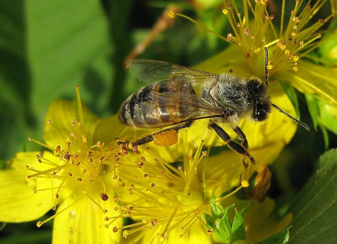 пчела на зверобое