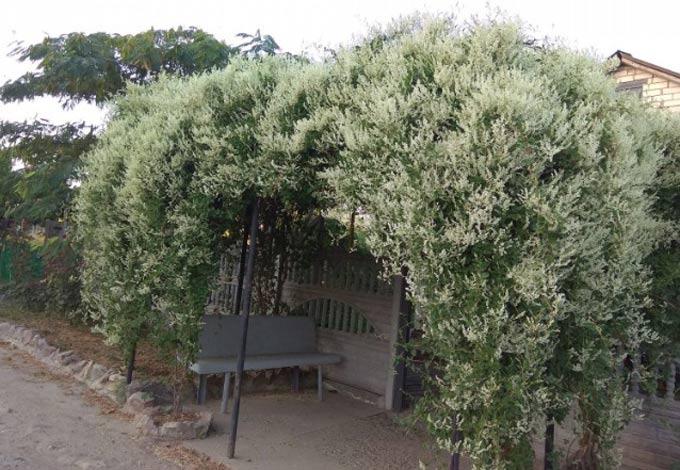 Горец бальджуанский как медоносное растение