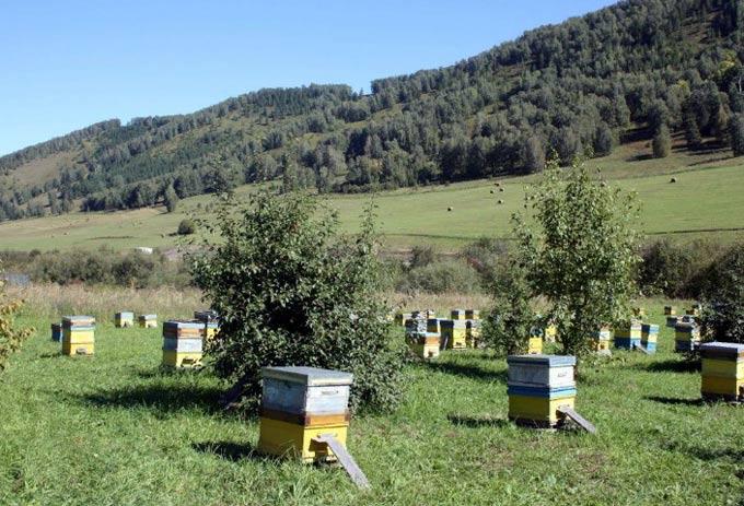 изображение записи-алтайский мед