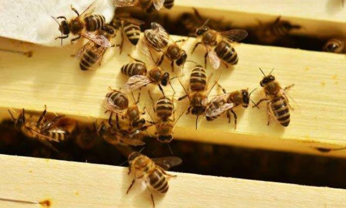 Канди в качестве подкормки для пчел