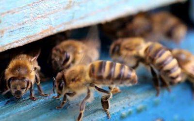 Почему пчелы не вылетают из ульев?