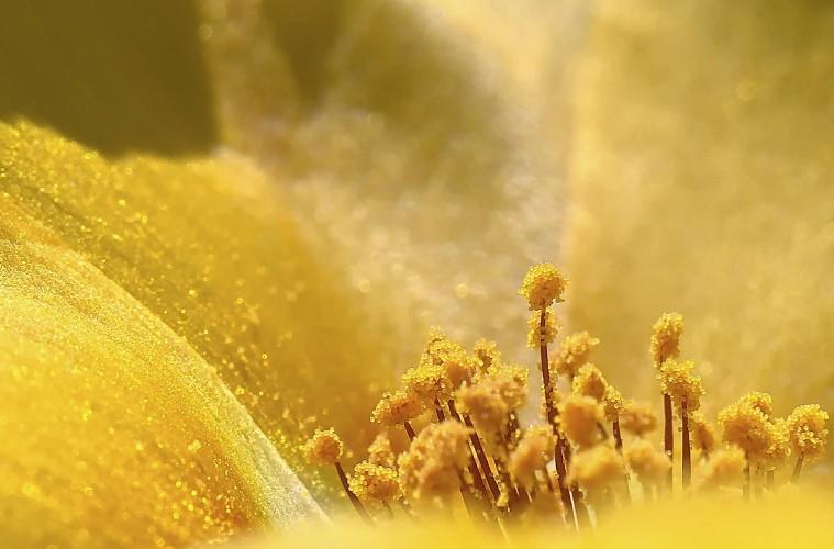 О пользе и вреде цветочной пыльцы