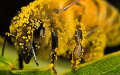 Сбор и консервирование пыльцы пчелами