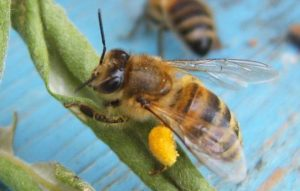 Похудение и пчелиная пыльца