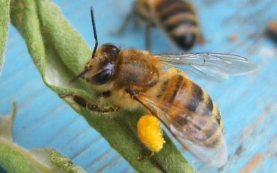 Чем полезна пчелиная пыльца?